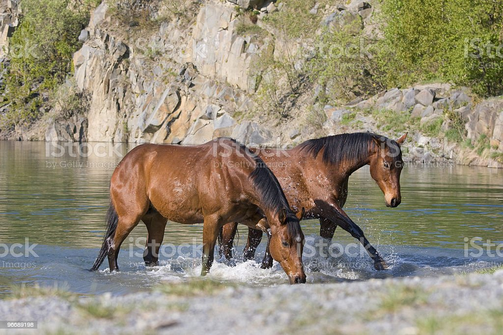 Horses in the water royalty-free stock photo