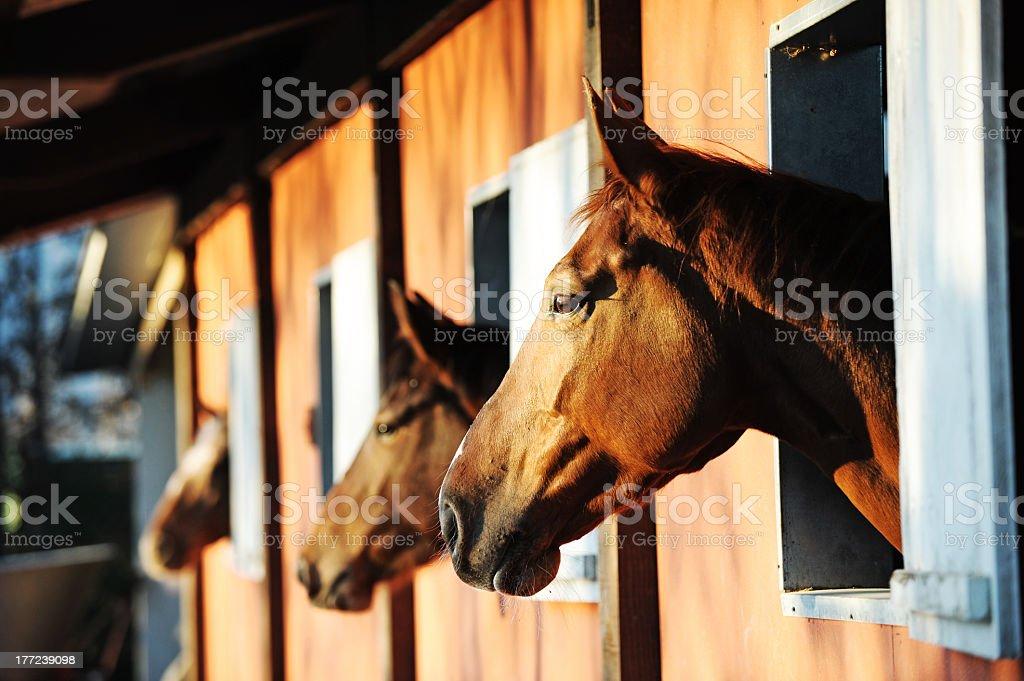 Chevaux dans leurs stable photo libre de droits