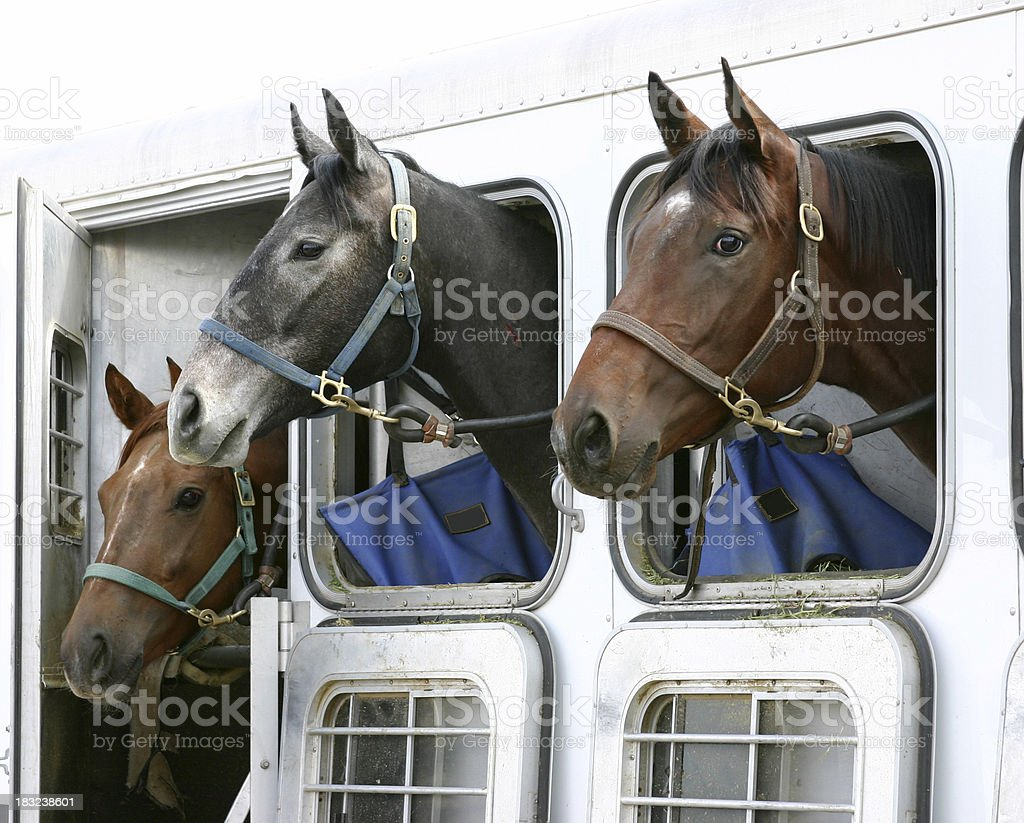 Horses in Trailer royalty-free stock photo
