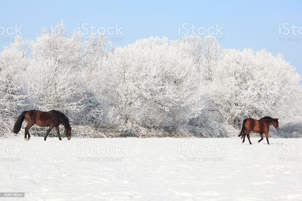 Horses in winter pasture stock photo