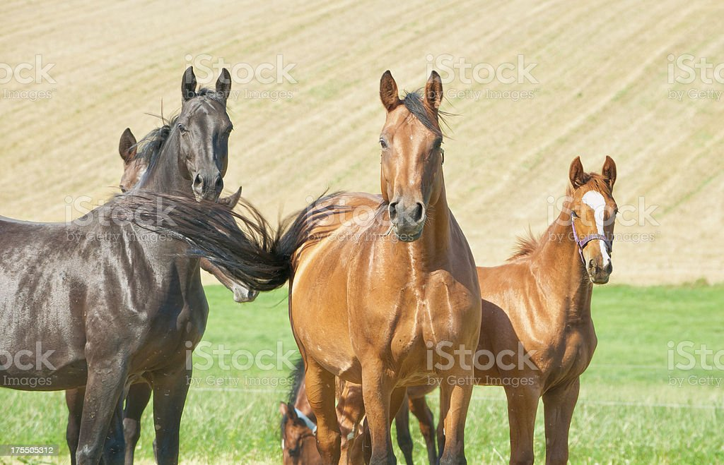Horses looking interested to the photographer royalty-free stock photo