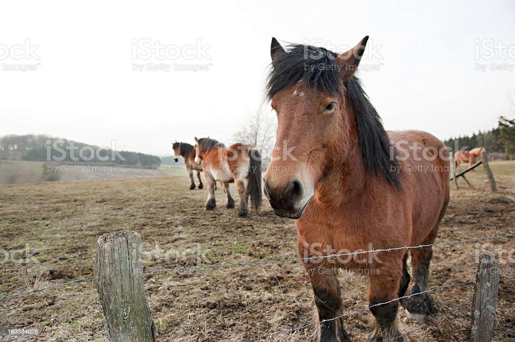 'Horses near Bastogne, Belgium' stock photo