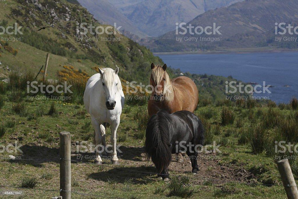 Horses of Scotland stock photo