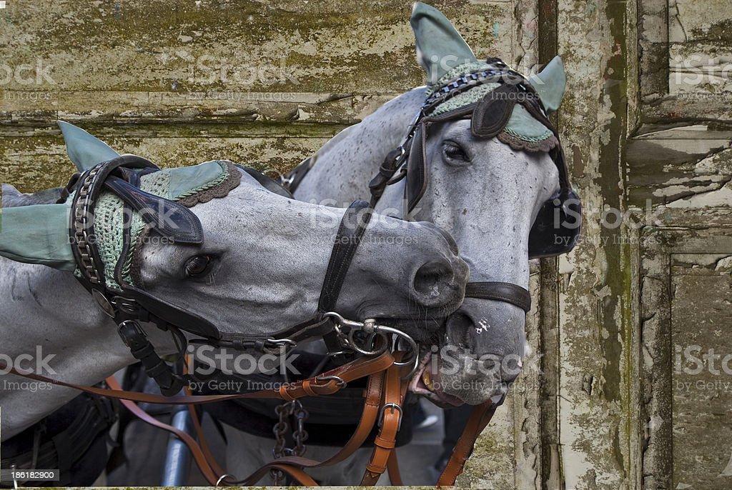 Horses of vienna royalty-free stock photo
