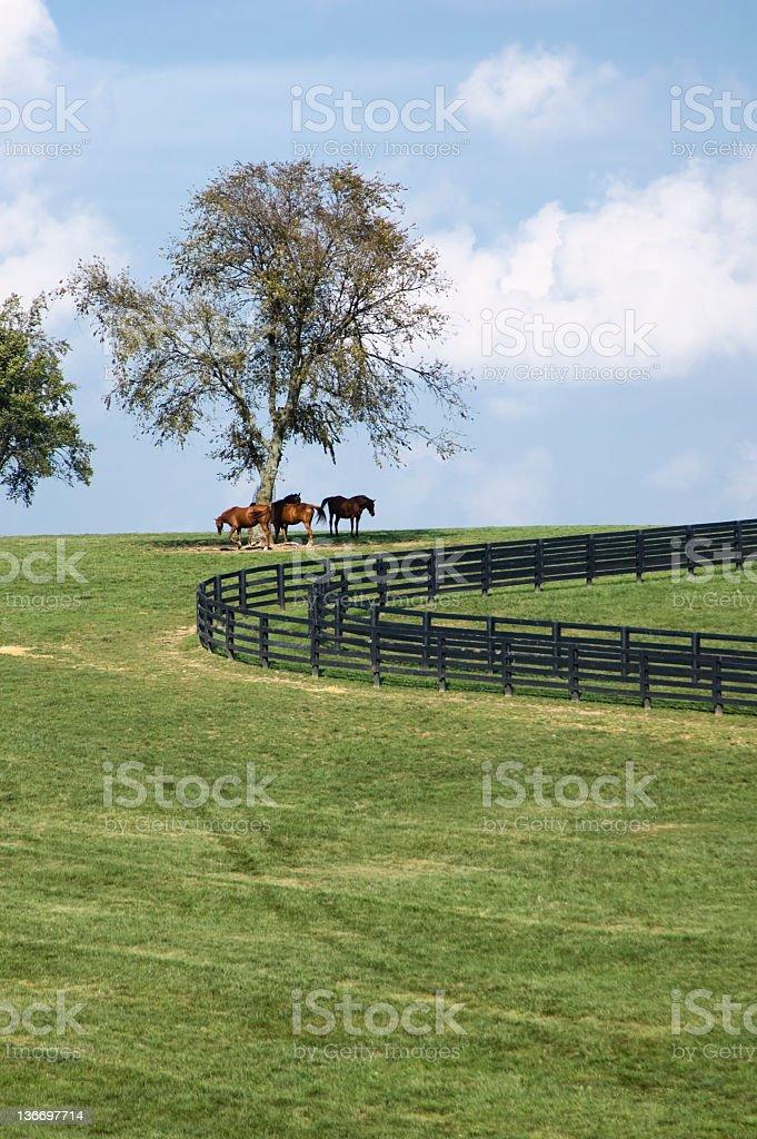 Horses On A Hill, Kentucky Bluegrass Pasture stock photo