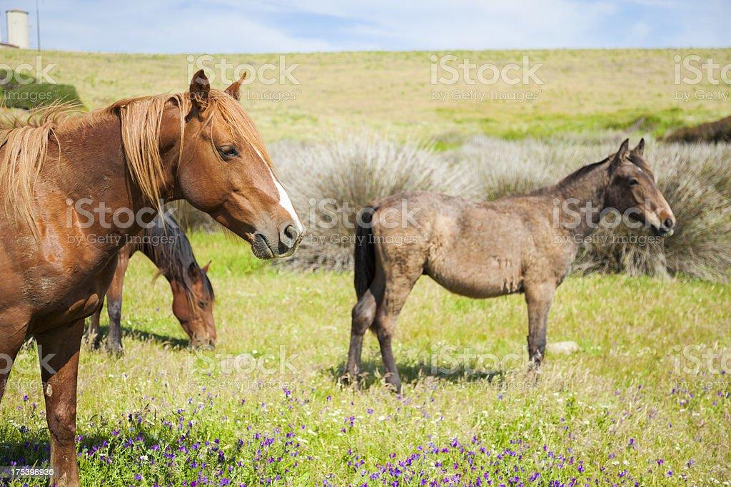 Horses on Asinara island stock photo