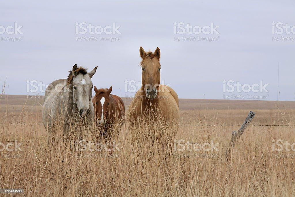 Horses on Kansas Prairie Pasture royalty-free stock photo