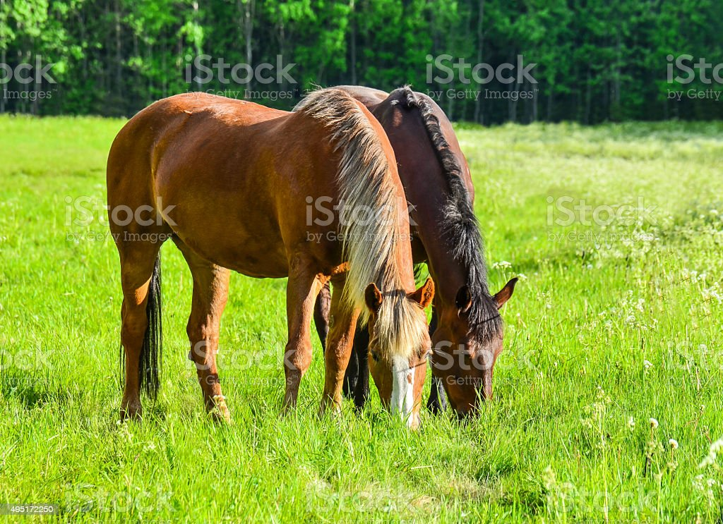 Horses on meadow stock photo