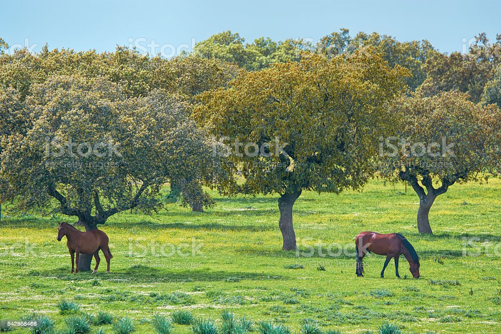 Horses on pasture under trees in Extremadura,Spain stock photo