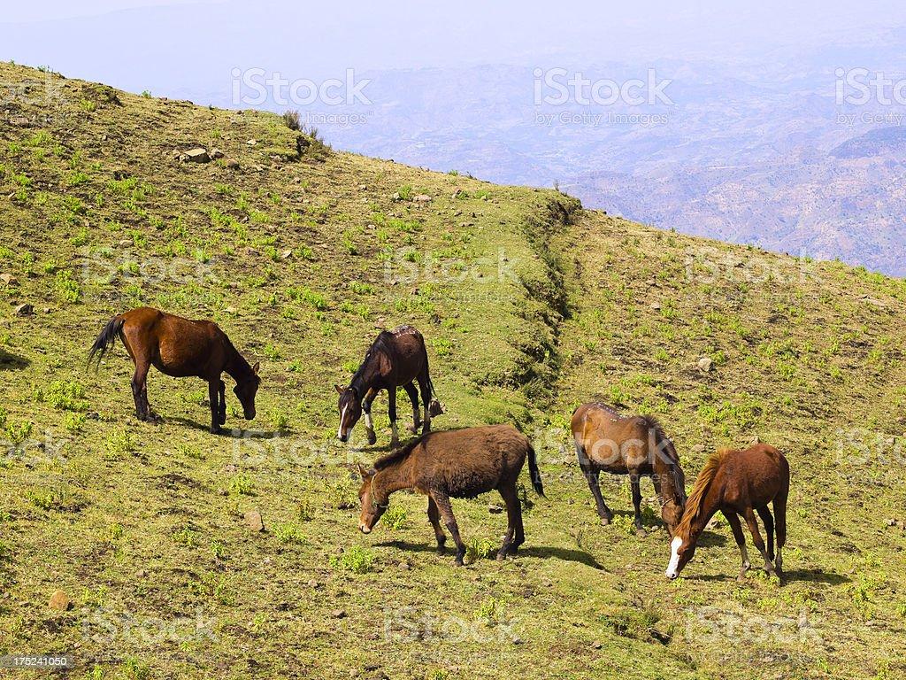 Horses on Simien royalty-free stock photo