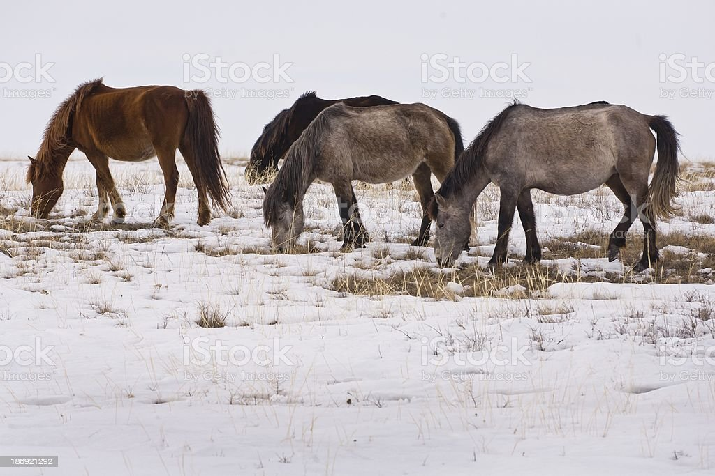 Horses on  snow plant. royalty-free stock photo