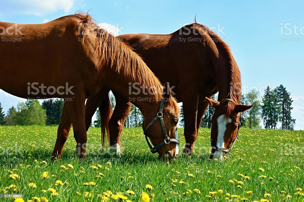 Horses on the meadow stock photo