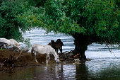 horses on the river 1
