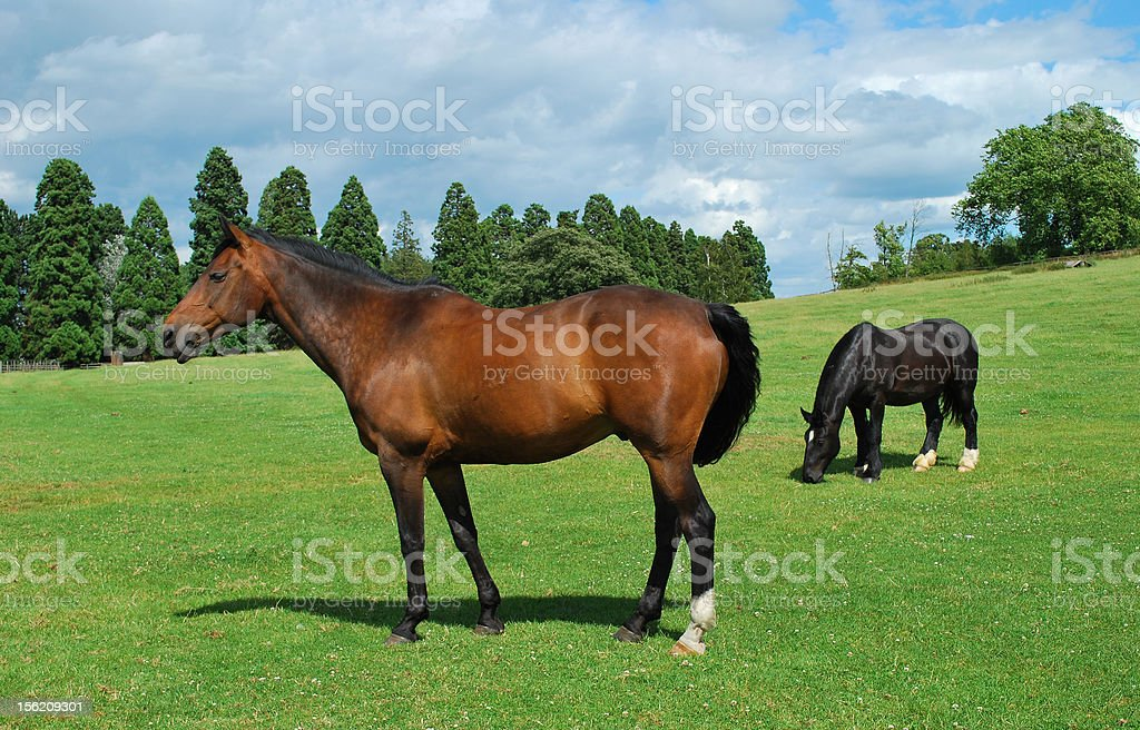 horses out to pasture stock photo