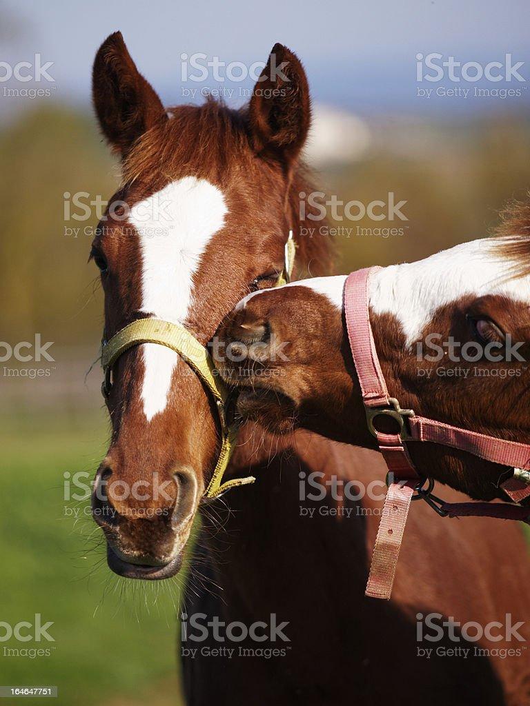 Horses pasture farm Tuscany countryside, siena, Italy royalty-free stock photo