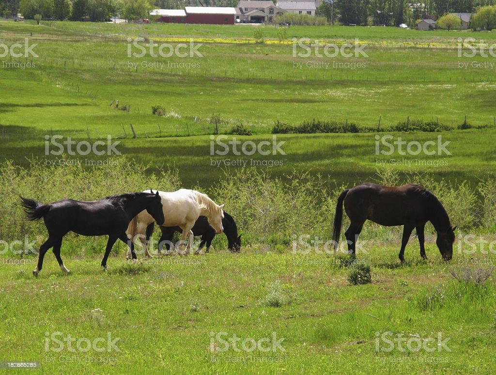 Horses Pasture Grazing royalty-free stock photo