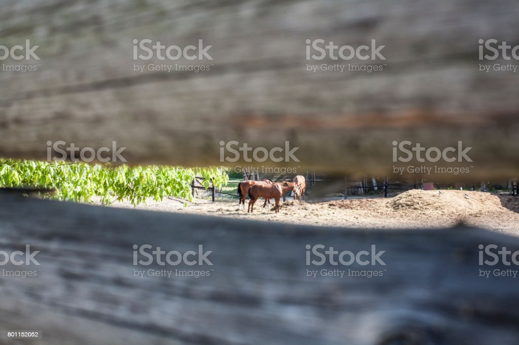 horses pasture through a crack in a wooden fence stock photo