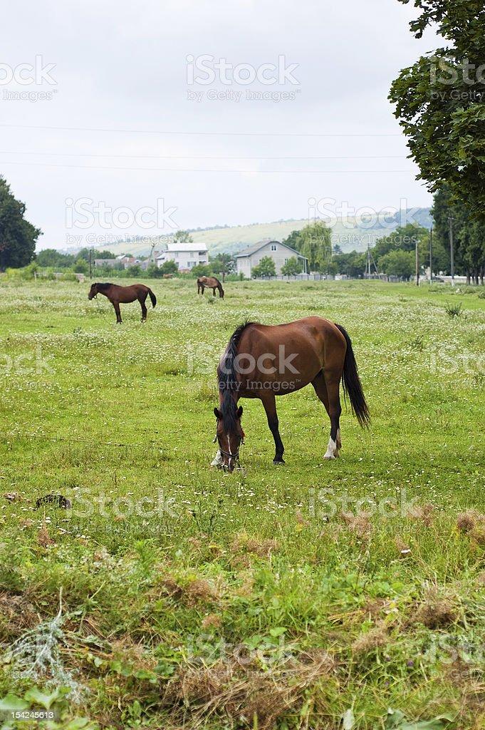 Horses pasturing royalty-free stock photo