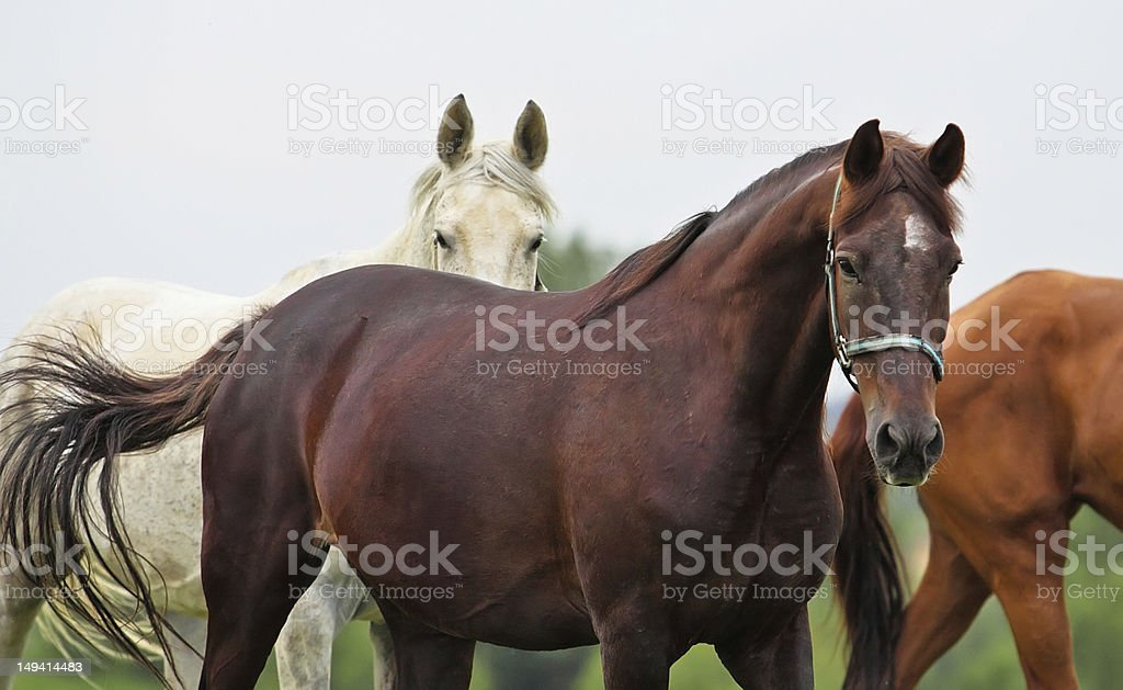 Horses royalty-free stock photo