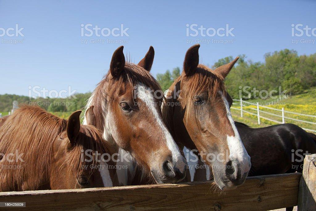 Horses royalty-free stock photo