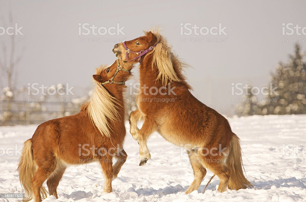 horses playing in the snow royalty-free stock photo