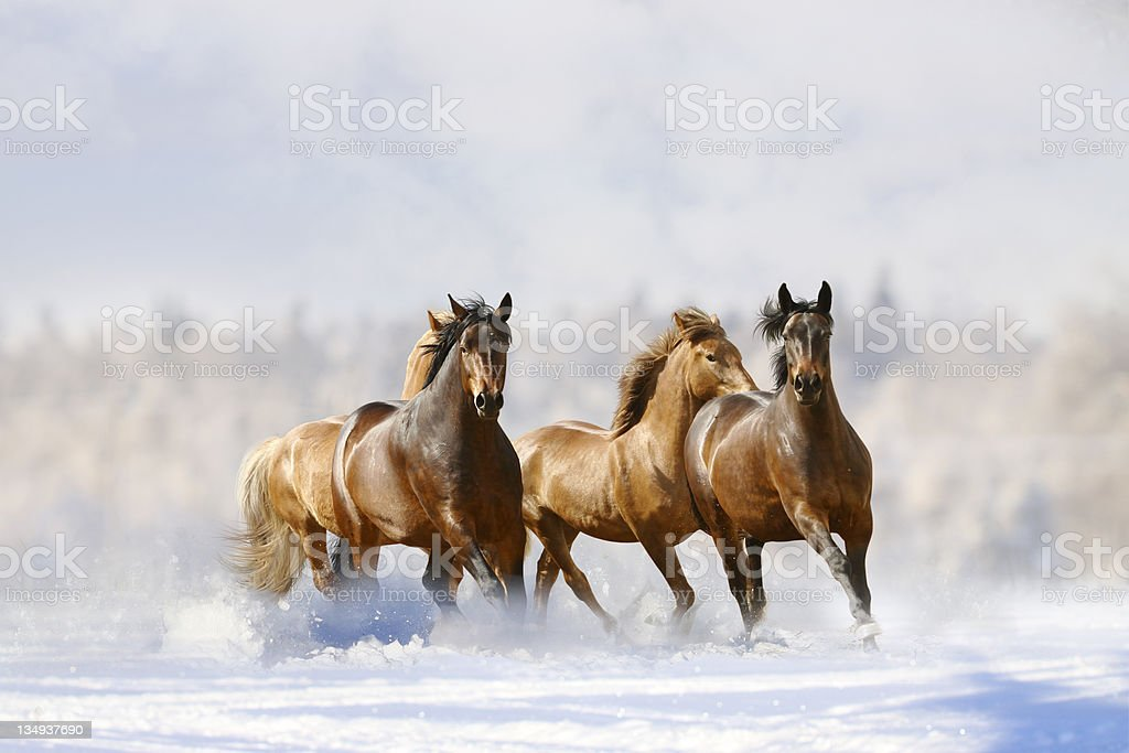 horses run stock photo