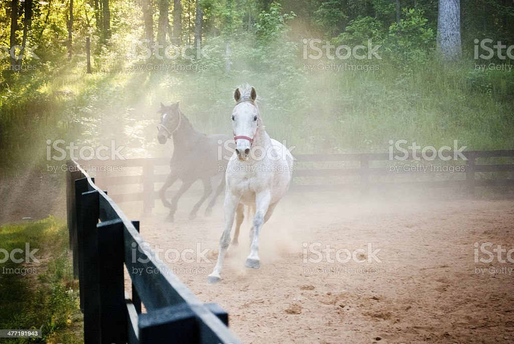 Horses Running Facing Camera stock photo
