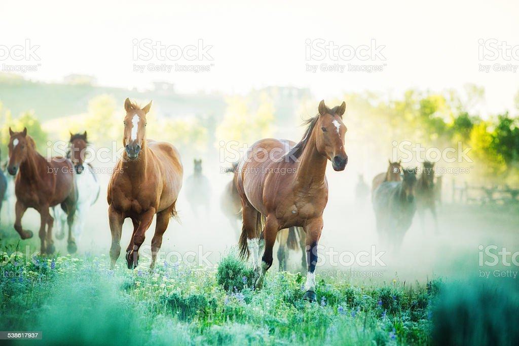 Horses running to pastures foggy Summer morning Montana ranch stock photo