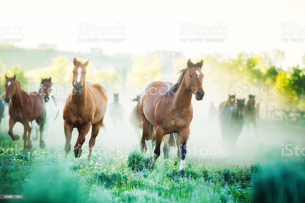 Horses running to pastures foggy Summer morning Montana ranch stock photo