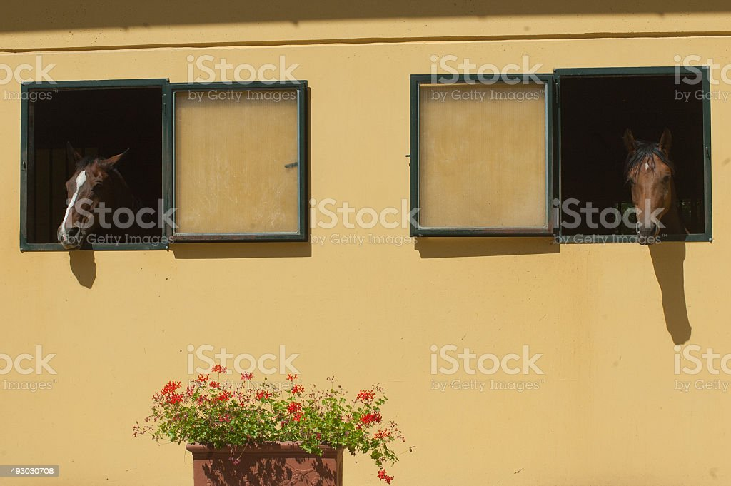 Horses stabled at the window royalty-free stock photo