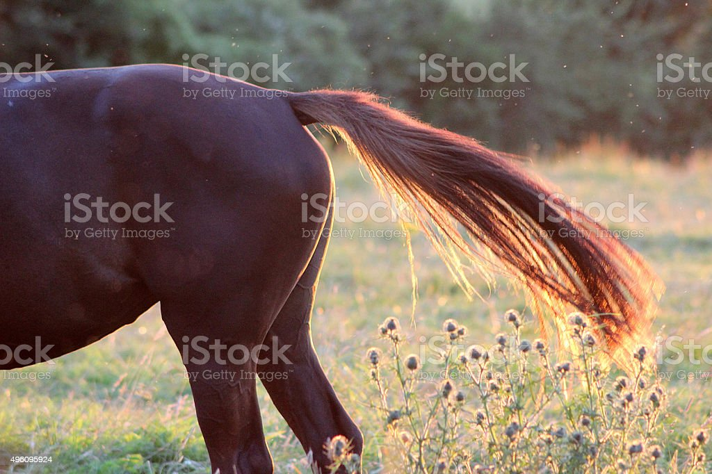 Horse's Tail with Midges stock photo