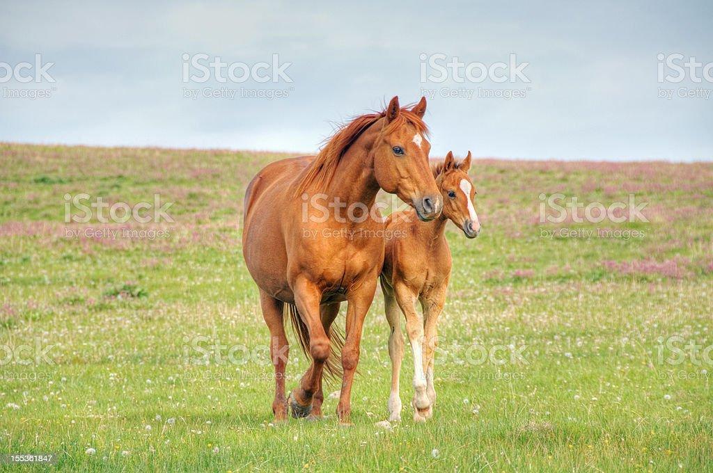 Horses walk across mountain meadow stock photo