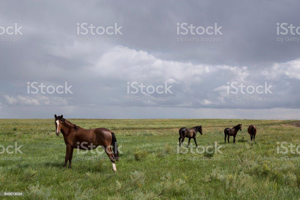 Horses walking across the steppe. stock photo