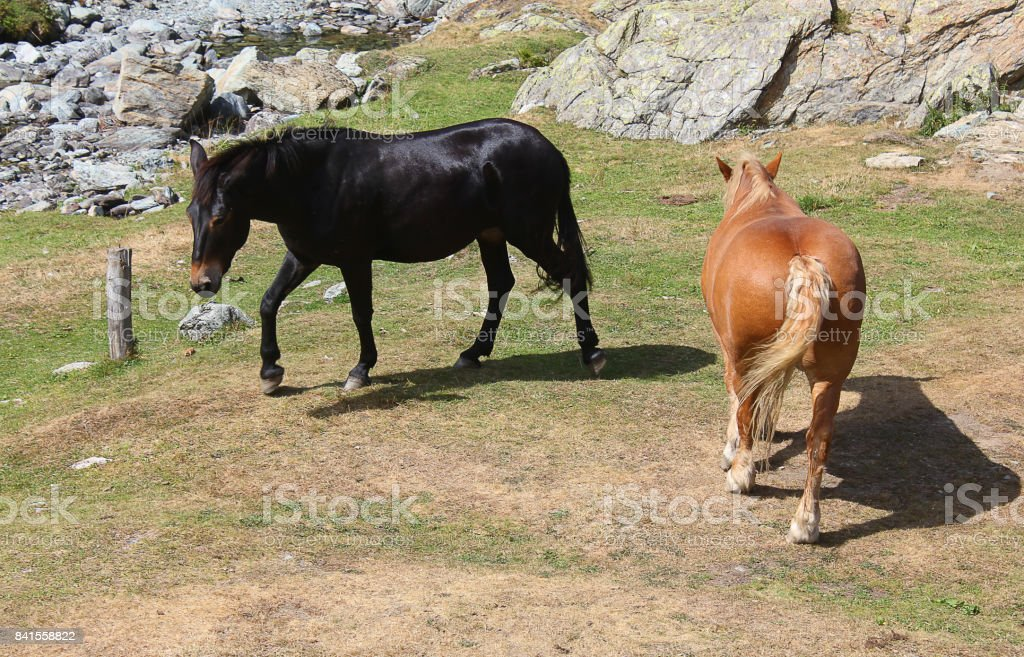 horses walking in the meadow stock photo
