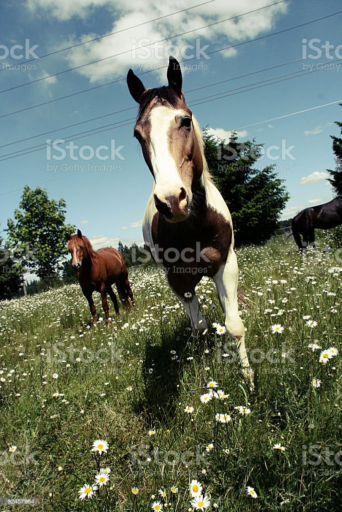 Horses Walking up to the Photographer royalty-free stock photo