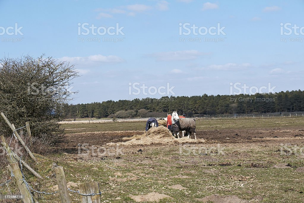 Horses wearing protective coats taking winter feed royalty-free stock photo