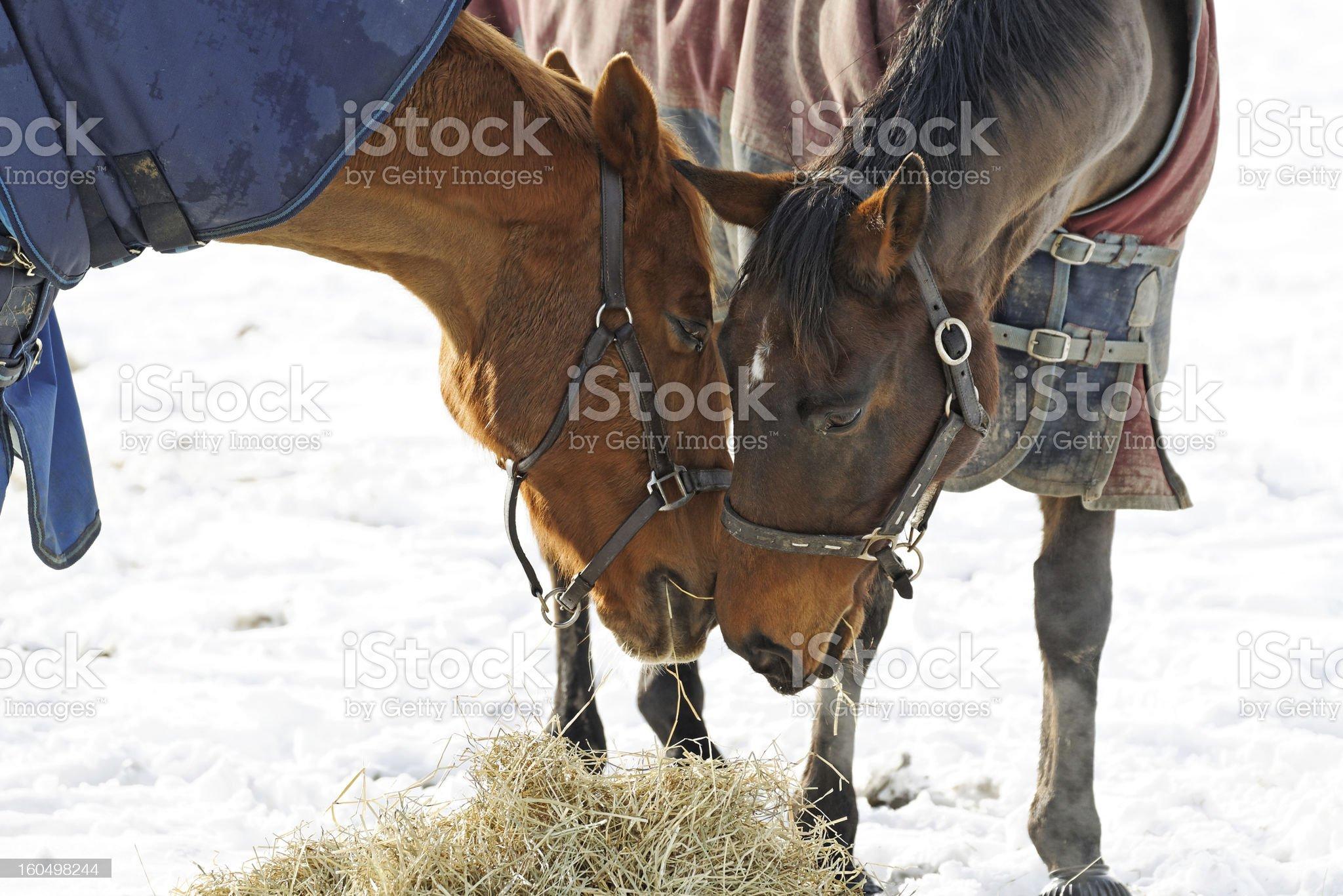 Horses Whispering royalty-free stock photo