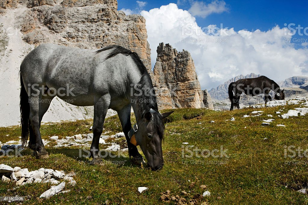 horses with bells grazing in mountain landscape of Dolomite Alps stock photo