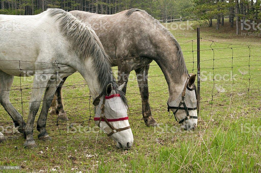 Horses with Fly Masks stock photo