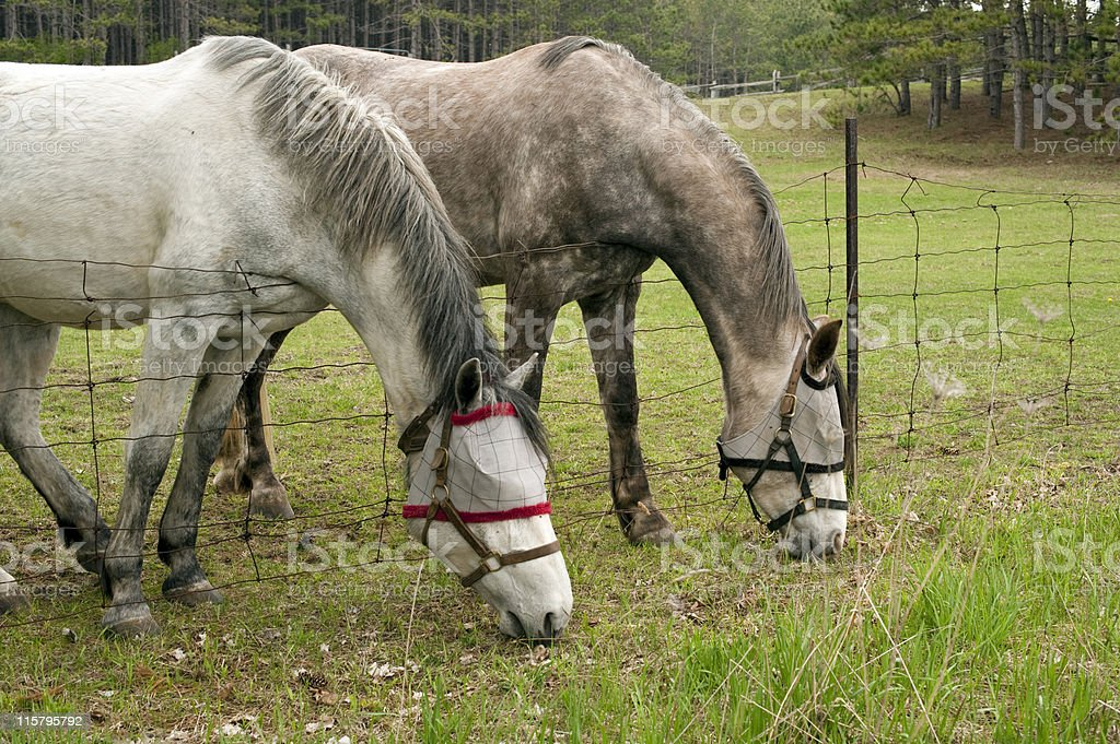 Horses with Fly Masks stock photo