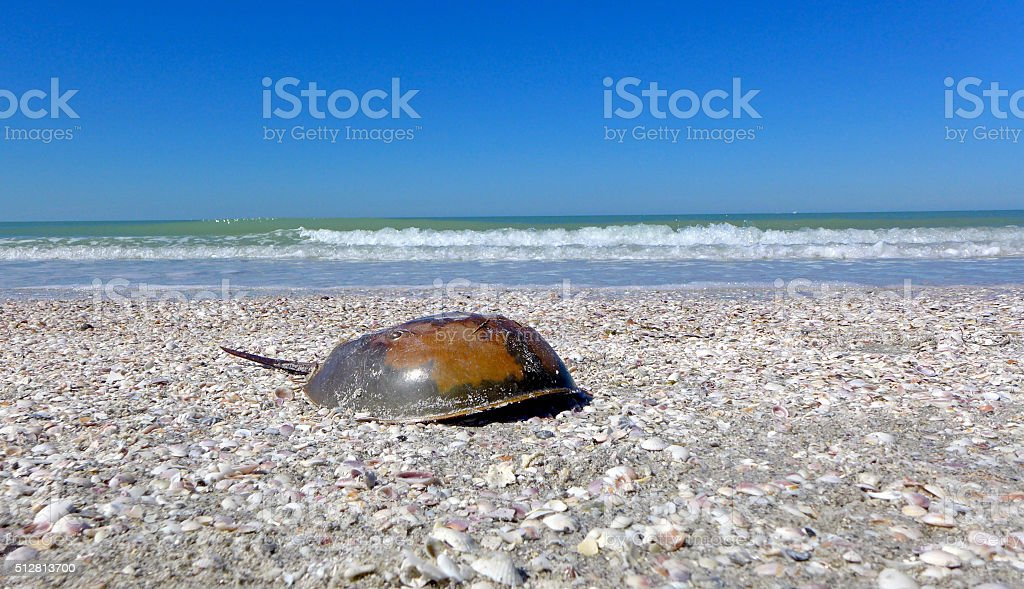 Horseshoe crab on beach with copy space stock photo