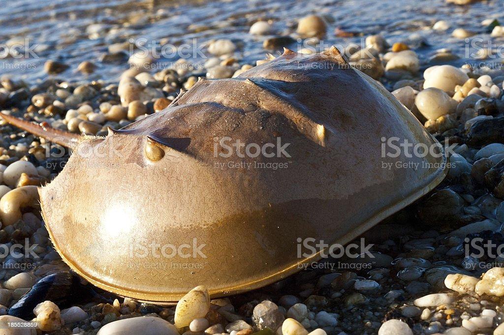 Horseshoe crab royalty-free stock photo