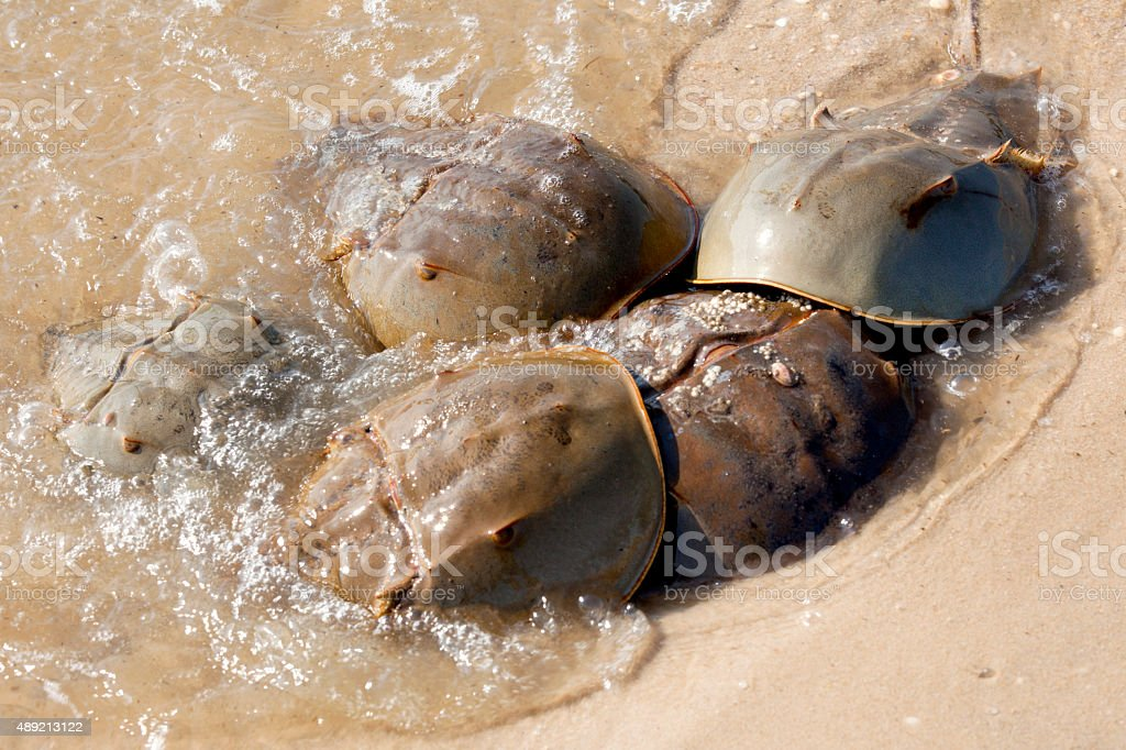 Horseshoe Crab (Limulus polyphemus) stock photo