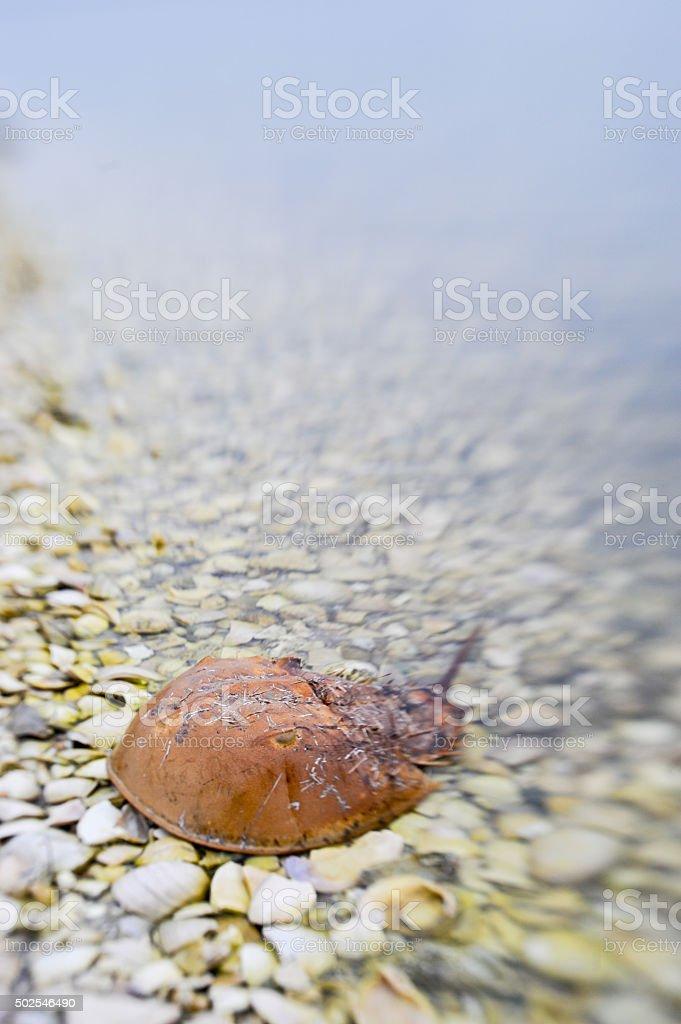 Horseshoe Crab stock photo