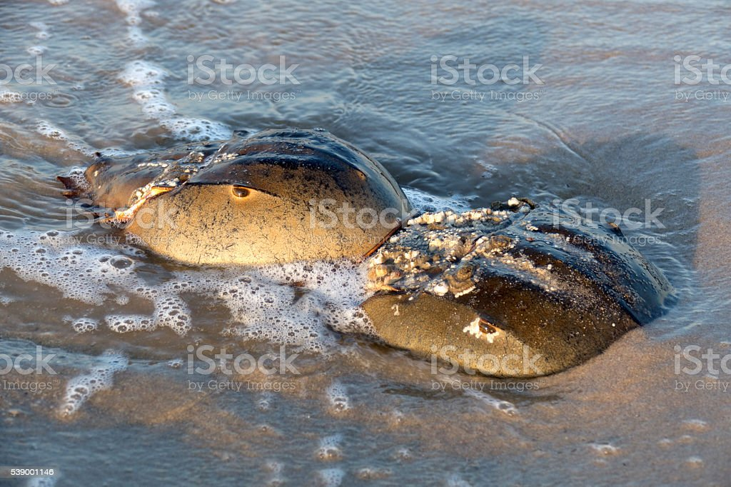 Horseshoe crabs closeup Slaughter Beach Delaware Bay waves stock photo