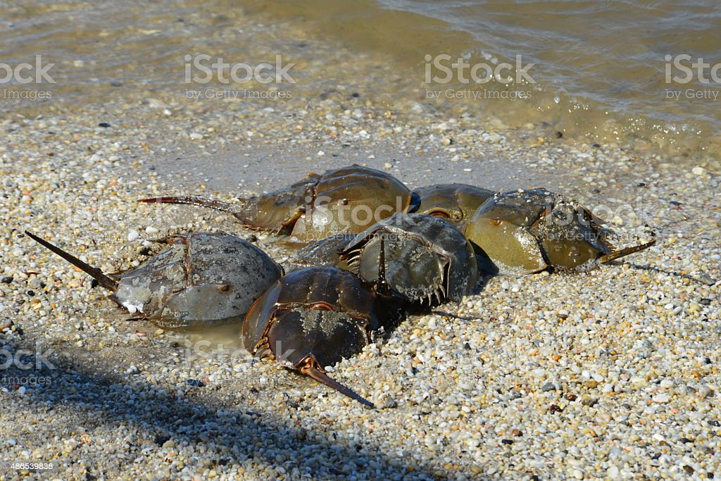 Horseshoe crabs laying eggs stock photo