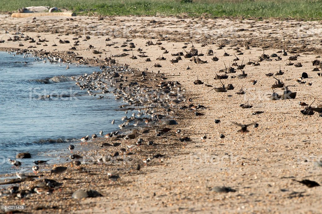 Horseshoe crabs overturned feeding shorebirds Slaughter Beach Delaware Bay stock photo
