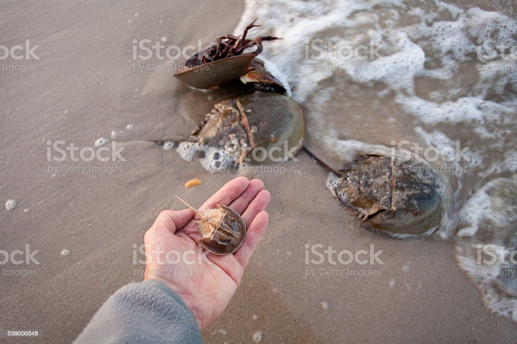 Horseshoe crabs spawn high tide hand holds molted shell Delaware stock photo