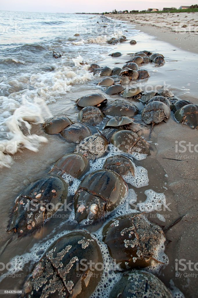 Horseshoe crabs spawn high tide Slaughter Beach Delaware Bay stock photo