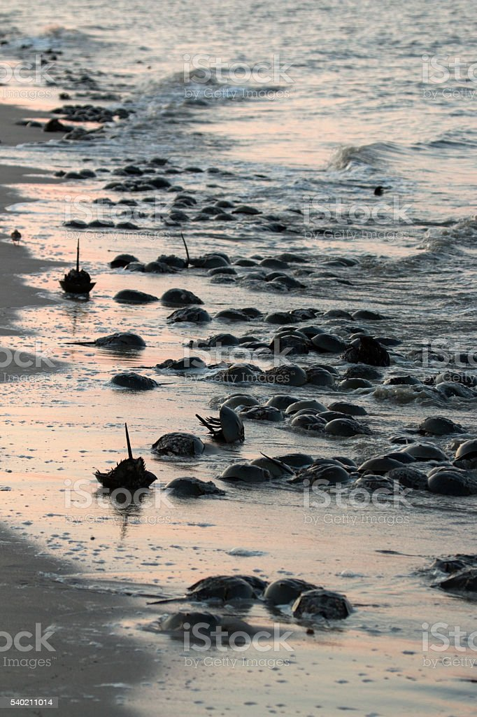 Horseshoe crabs spawn high tide Slaughter Beach Delaware Bay waves stock photo